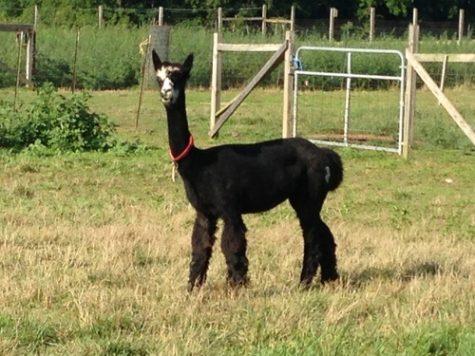Asmerelda: Huacaya Open Female Alpaca for Sale in PA