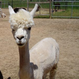 Huacaya Bred Female Alpaca for Sale in PA