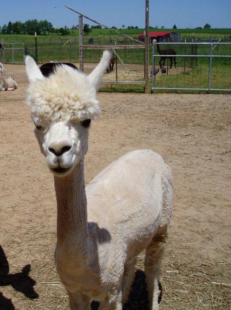 Huacaya Bred Female Alpaca for Sale in PA