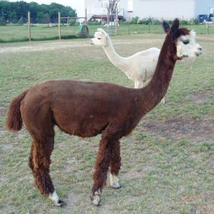 Alpaca Sales/Services