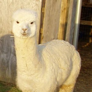 HUACAYA MALE ALPACAS FOR SALE