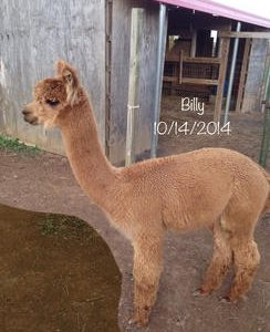 Male Alpacas for Sale in PA