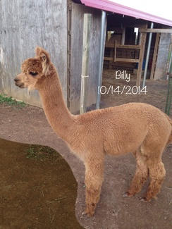 Male Alpacas for Sale in PA