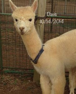 Huacaya Male Alpacas for Sale in Pa