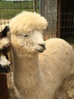 Ivory Male Alpacas for Sale in PA