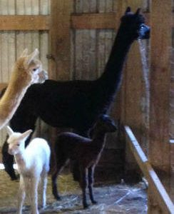 Female Alpacas for Sale in PA