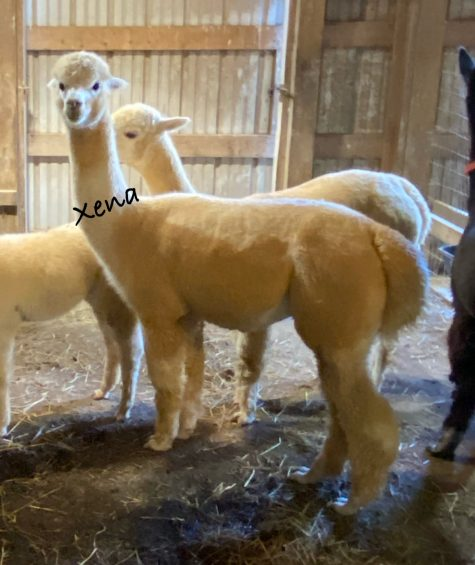 White Huacaya Bred Female Alpacas for Sale in PA