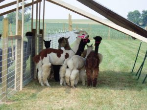 Huacaya Alpacas for Sale in PA