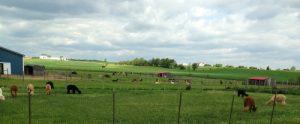 Medium Alpaca Farm in Pennsylvania