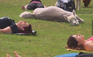 student in alpaca yoga class